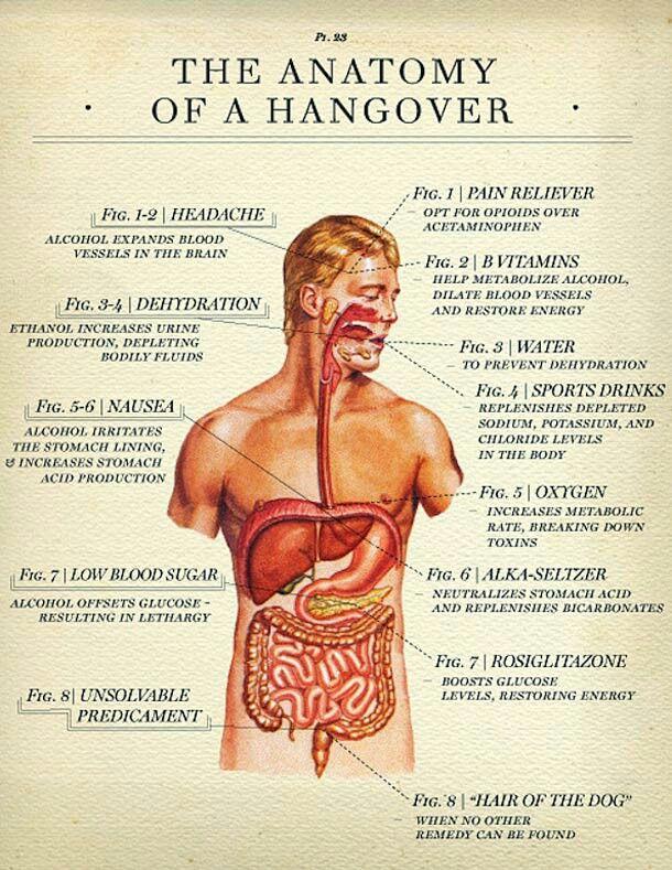 La anatomía de un bebedor | Humor | Pinterest | Anatomía
