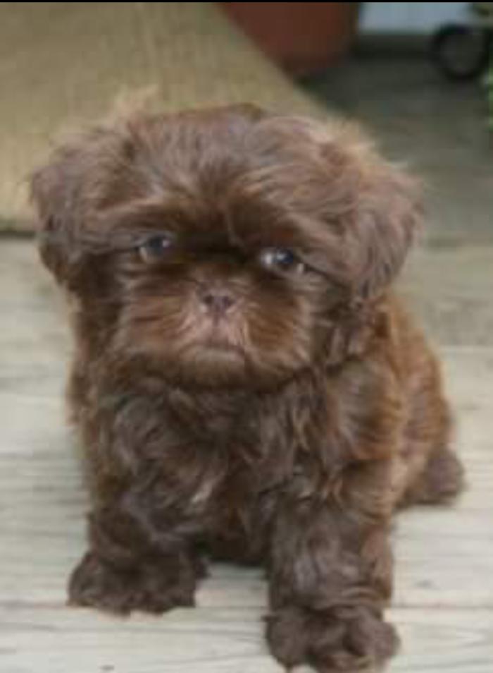 Chocolate Shih Tzu Puppy Bored Panda Cuteness For The Soul