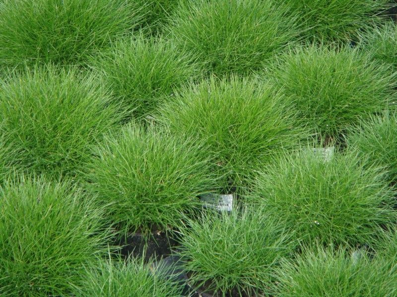 Festuca scoparia bearskin fescue compact mounding for Small ornamental grasses