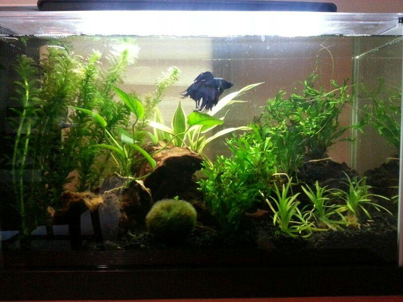 Betta Than A Bowl Betta Fish Aquariums Betta Tank Inspiration Betta Fish Tank Betta Fish Care Betta Tank