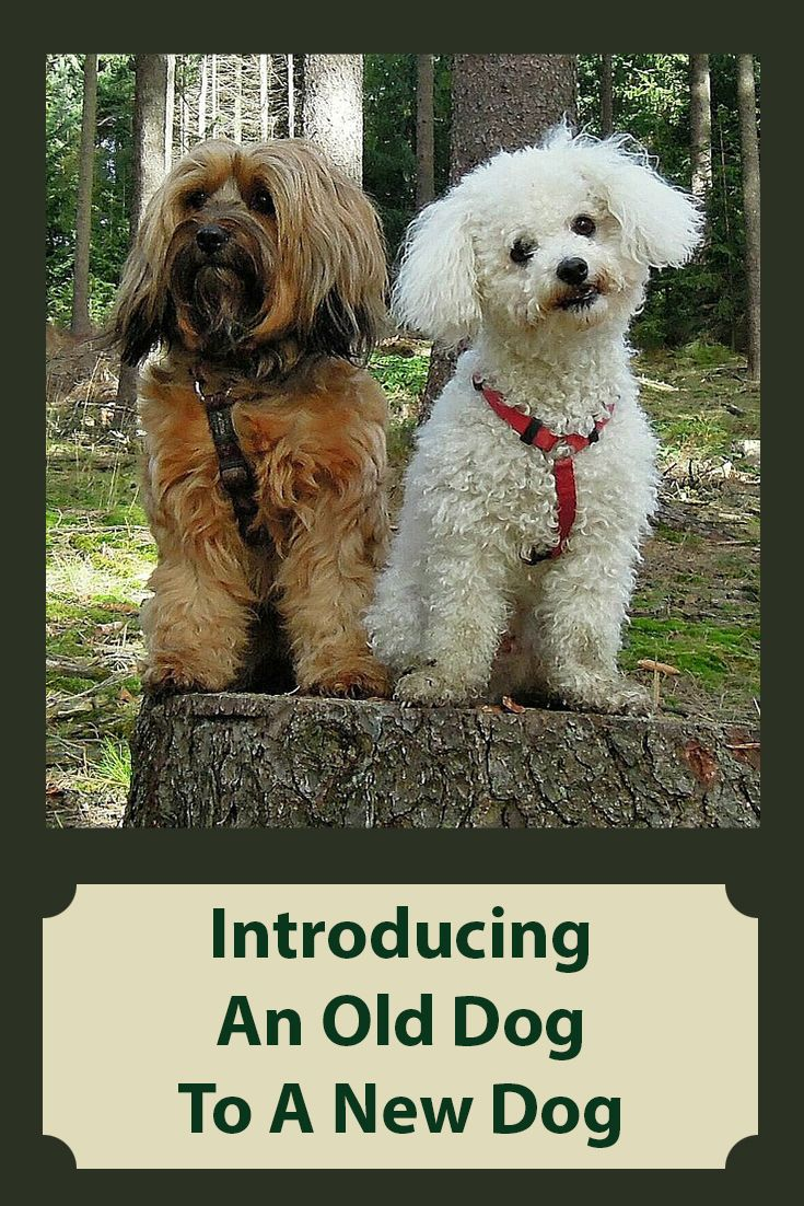 How To An Introduce A New Dog To An Old Dog Introducing