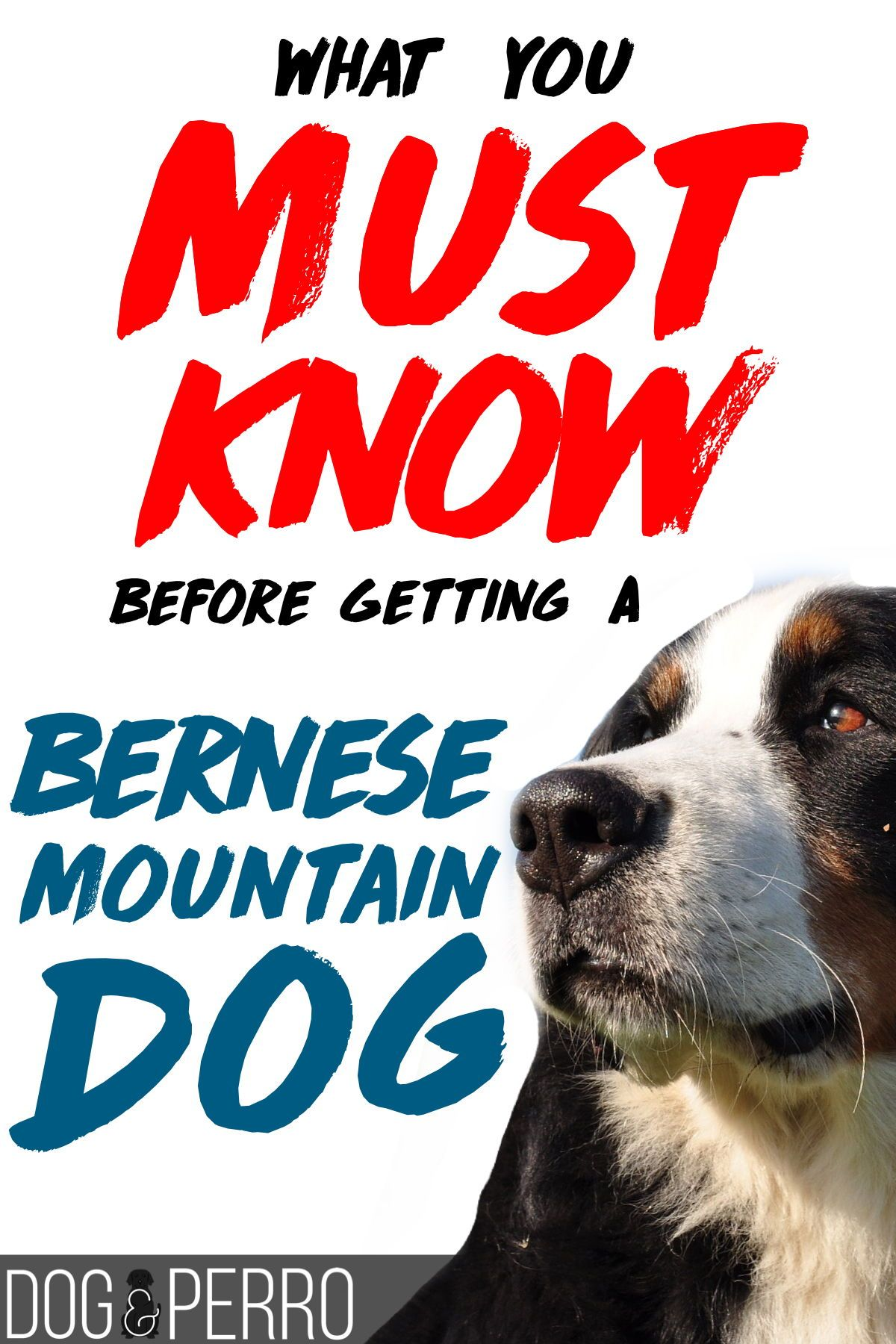 Breed Of The Week Bernese Mountain Dog Dog Mom Mountain