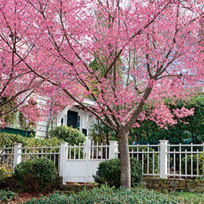 Okame Cherry Flowering Cherry Tree Japanese Cherry Tree Growing Cherry Trees
