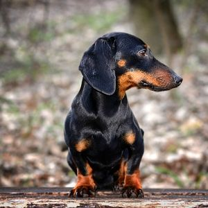 The Dachs In Dachshund Comes From A German Word For Badger As The