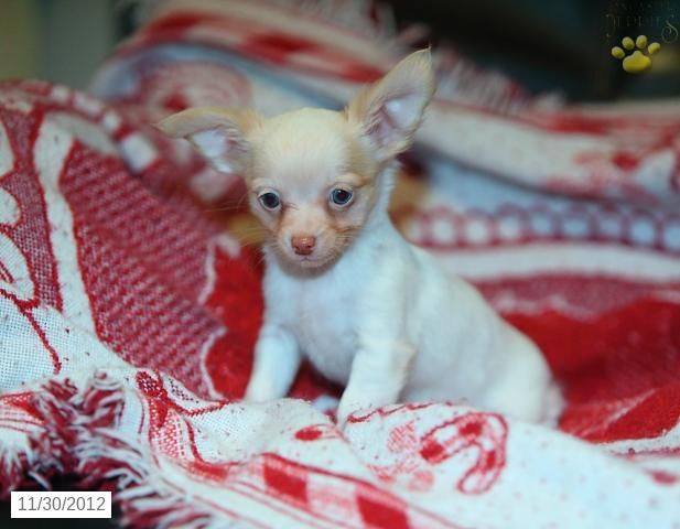 Sweetheart Chihuahua Puppy For Sale From Coatesville Pa