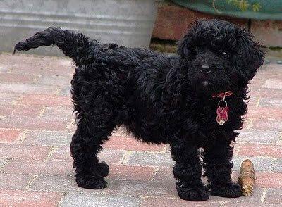 Black Cavapoo Dogs Pinterest Cavapoo dogs, Dog