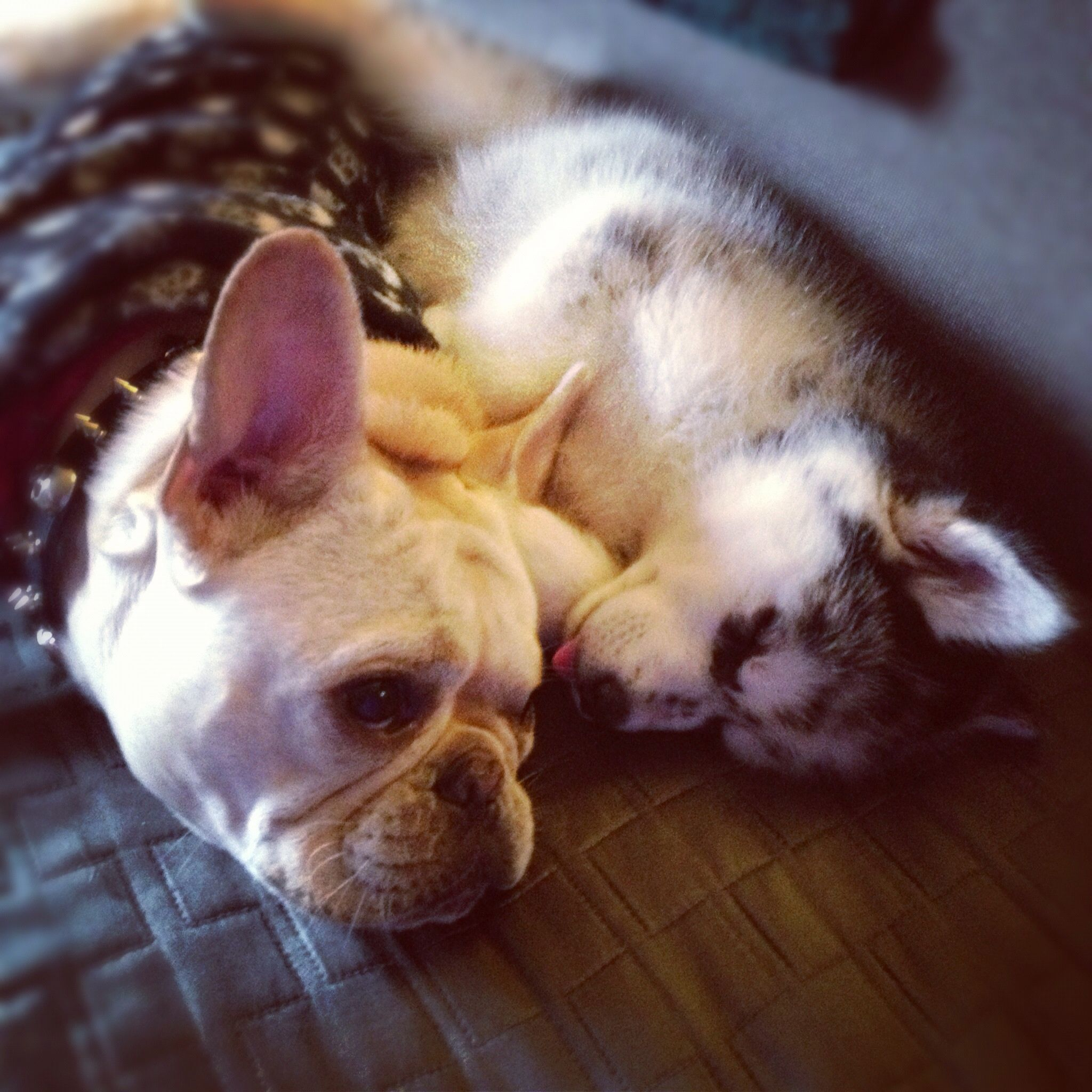 Our French Bulldog Capa And Husky Luna Frenchie Bulldog