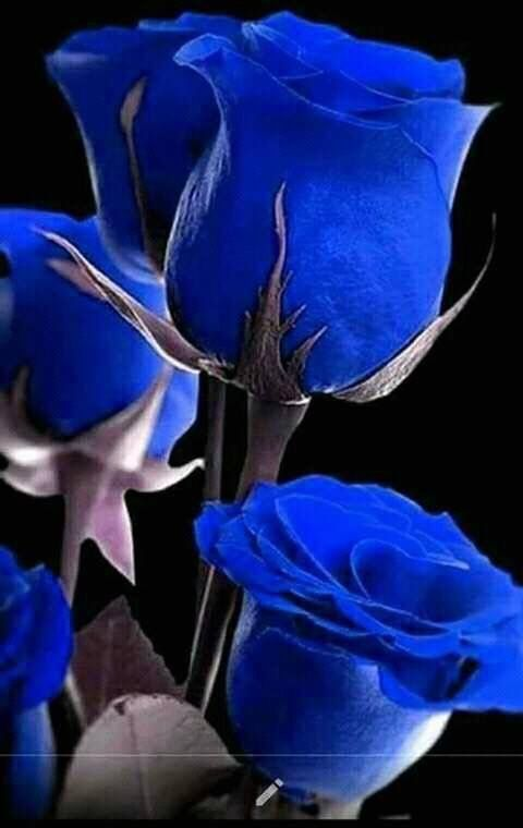 Blaue Rosen #blueflowerwallpaper