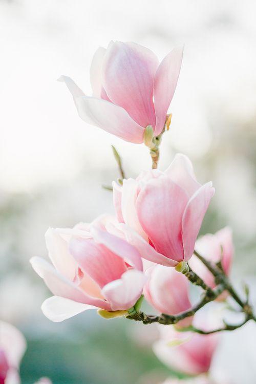 Magnolia + Wallpaper Цветочное искусство, Магнолия