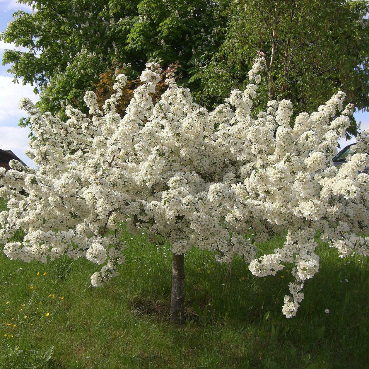 Error Deloitte Uk Crabapple Tree Crab Apple Dwarf Trees