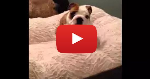 English Bulldog Puppy Loves His Bed Bulldog Puppies English