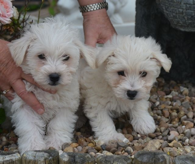 Brant Broughton Puppies for sale, Baby puppies for sale