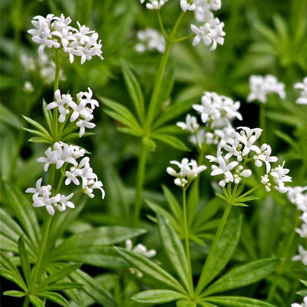 GALIUM odoratum Sweet Woodruff perennial shade groundcover Sweet