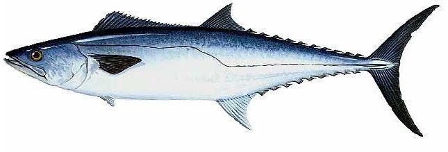 King Mackerel Kingfish Kings Identification Habitat Bait And Fishing Tackle Used King Mackerel Fish Art Fish