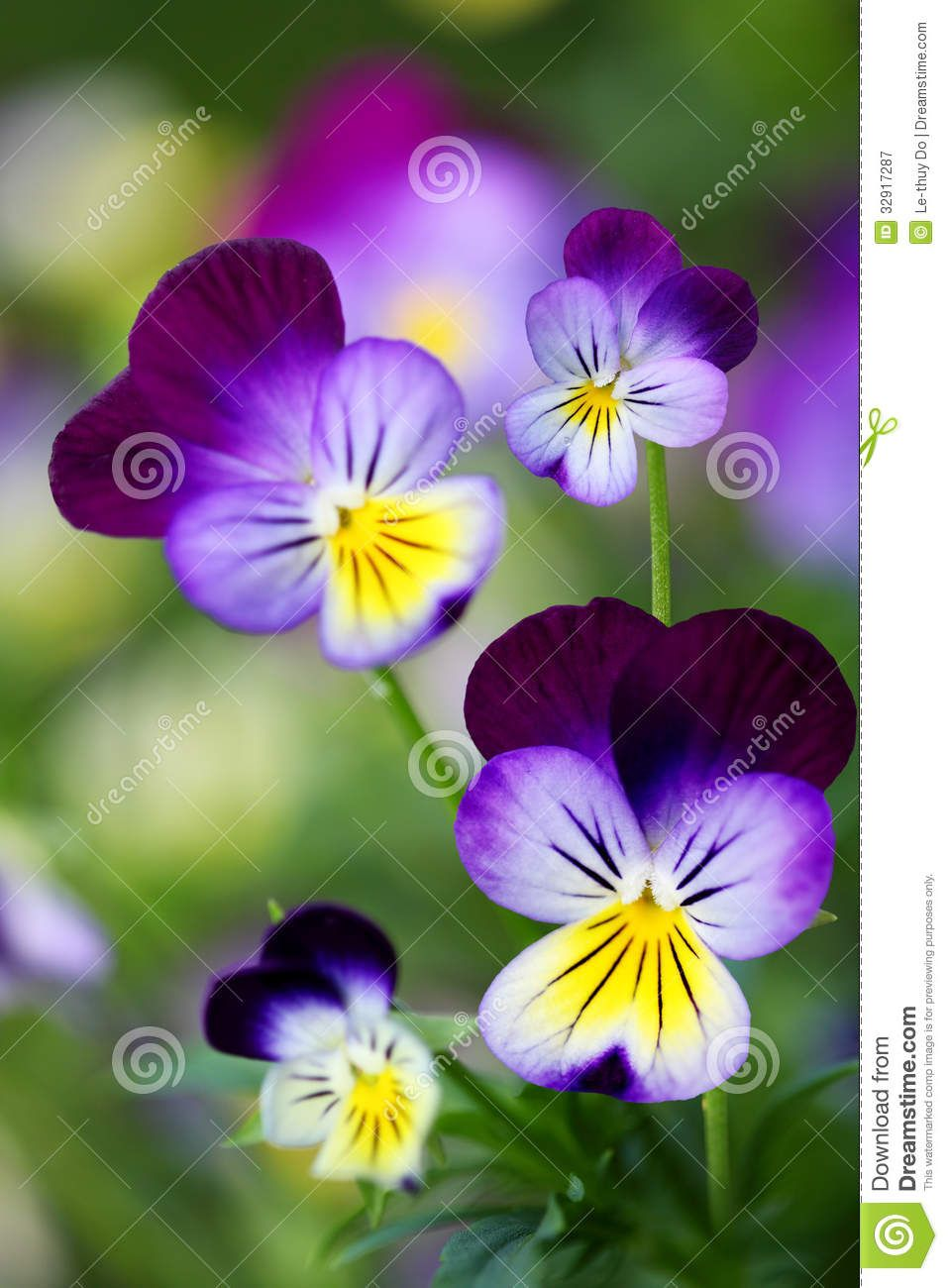 Purple And Blue Pansy Plant Beautiful Yellow Purple Blue Violet
