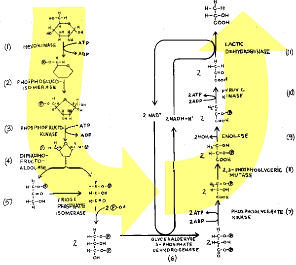 Glycolysis And Alcoholic Fermentation In 2020 Fermentation Alcohol Cells Activity