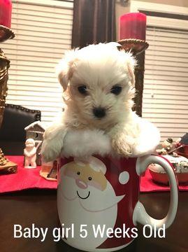 Maltese Puppy For Sale In Dawsonville Ga Adn 56223 On