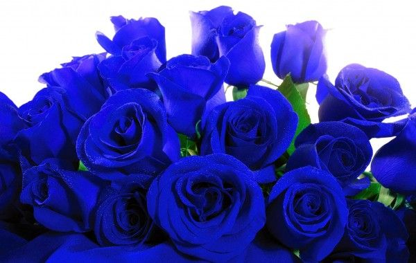Blue Roses Hd Wallpapers 100 Quality Hd Desktop Wallpapers