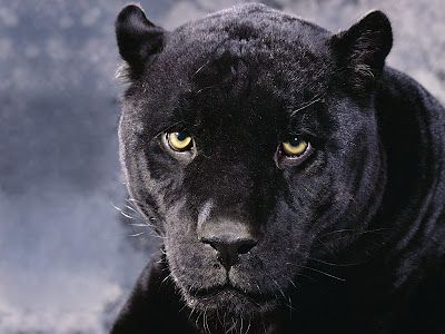 Black Panther - looking at you