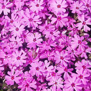Zone 9 perennial flowering plant guide perennial flowers bloom zone 9 perennial flowering plant guide perennial flowers bloom guide costa farms mightylinksfo