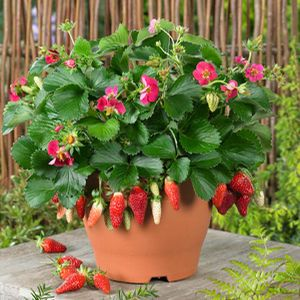 Attractive Great Patio Plant That Bears Fruit All Summer (everbearing). Pink Flowers  Are A