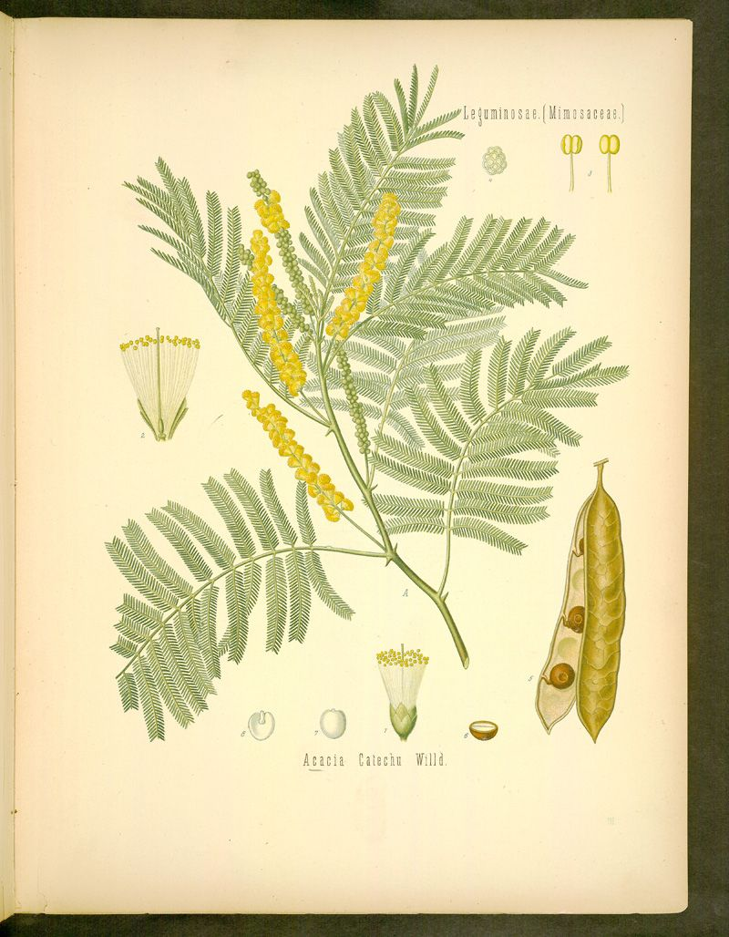 Image Of Illustration Of Acacia Catechu Willd 116 Australian Native Plants Illustration Australian Flora