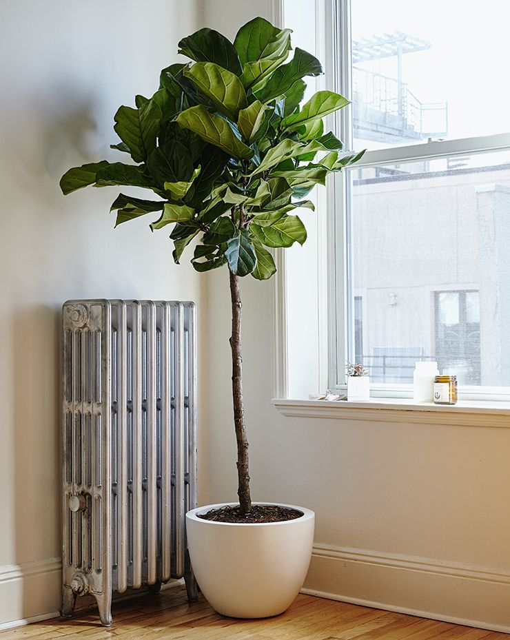 explore fiddle fig fiddle leaf fig tree and more