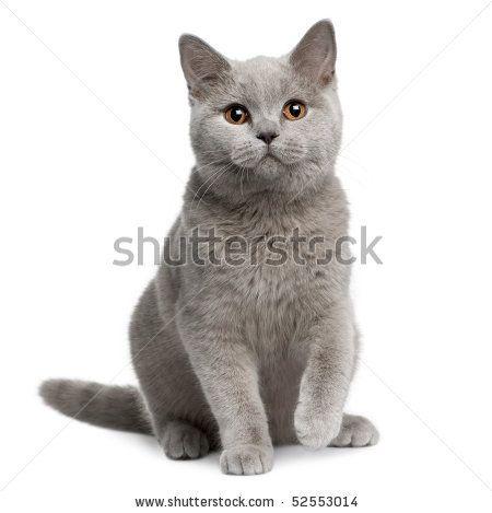 British shorthair cat, 7 months old