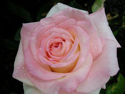 Princess Diana Rose Jackson Perkins Diana Princess Of