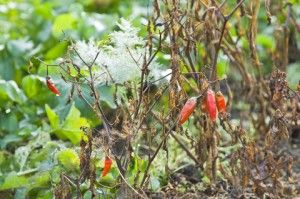 8 things not to do in the veggie garden