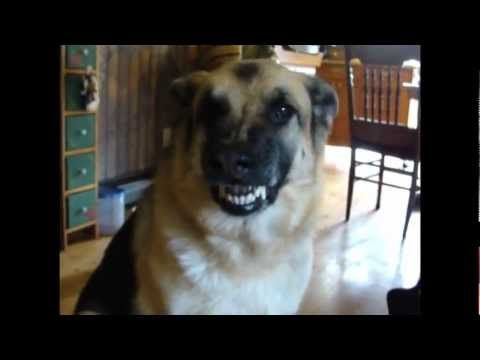 Funny Dog Smiling Talking Love The German Shepherds