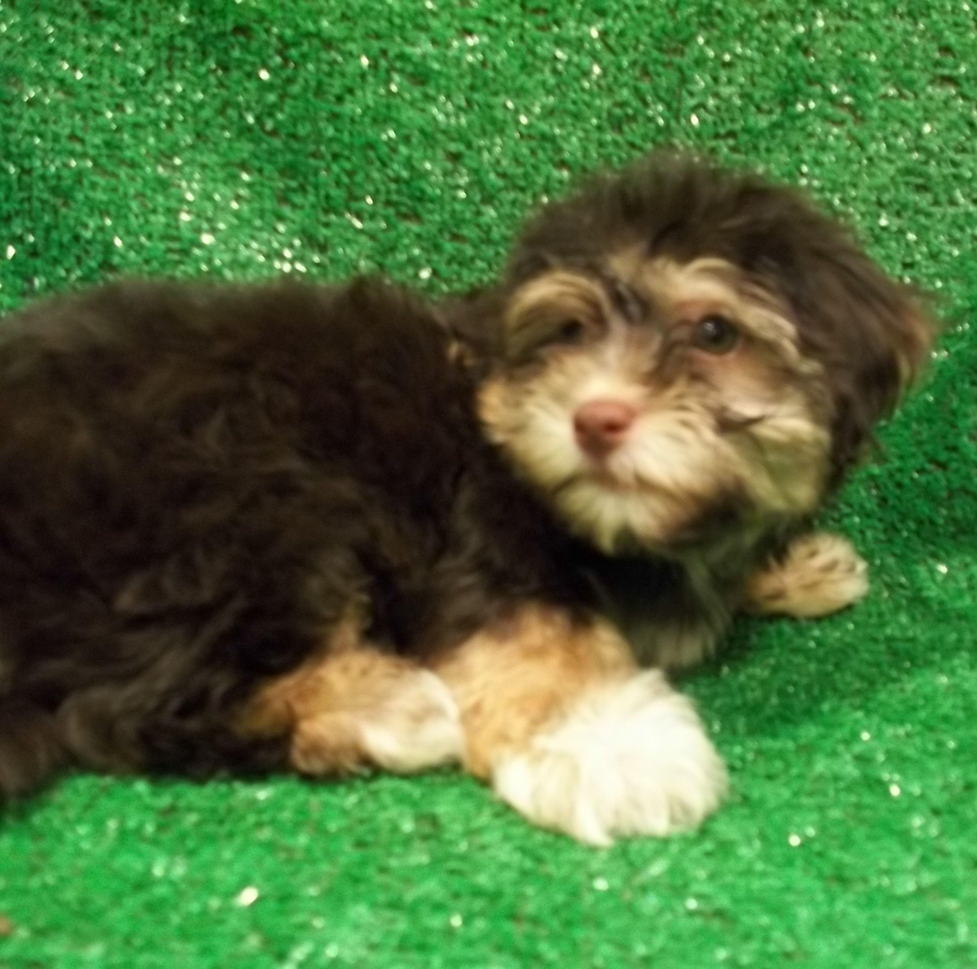 Havanese 3012 Havanese, Puppies, Puppy adoption
