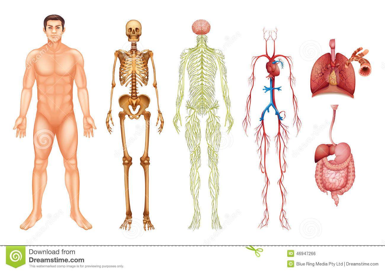 los sistemas del cuerpo humano - Buscar con Google | Cuerpo Humano ...