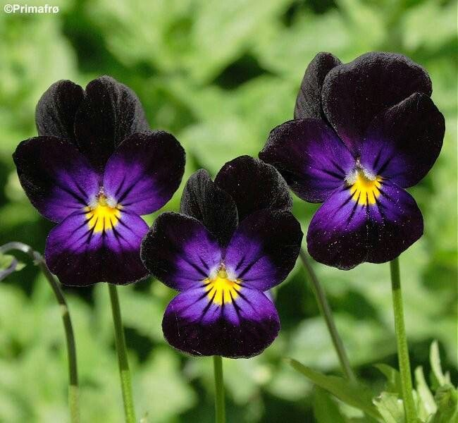 15 Most Beautiful Black Flowers: Black Garden, Plants, Flower Seeds