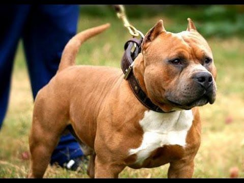 Exclusive Video Fabian Chichester From Remyline Americanbully