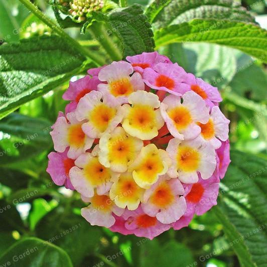 Lantana Camara Plant Seed 50pcs Perennial Gorgeous Flower Plantas Flores