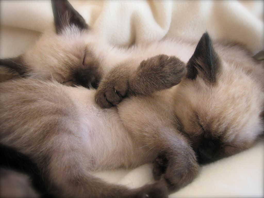 Sleeping Siamese kittens photo … | Pinteres…