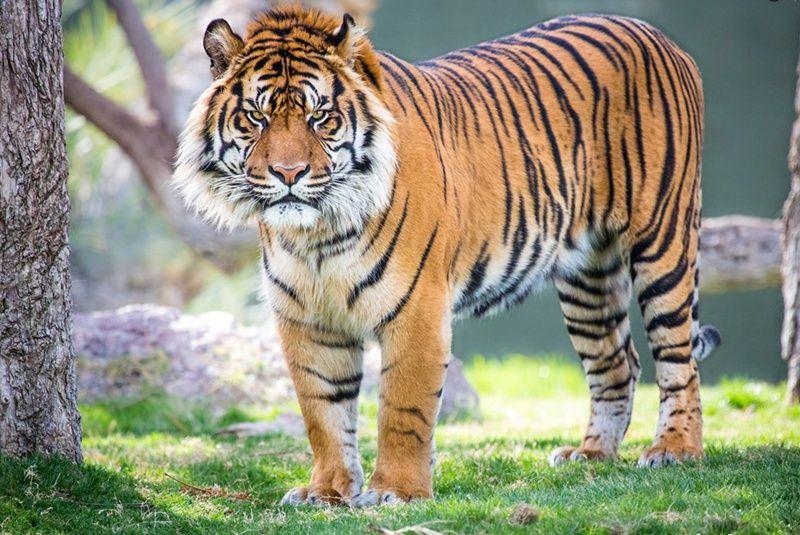 Pin On Tadoba Tiger King Resort