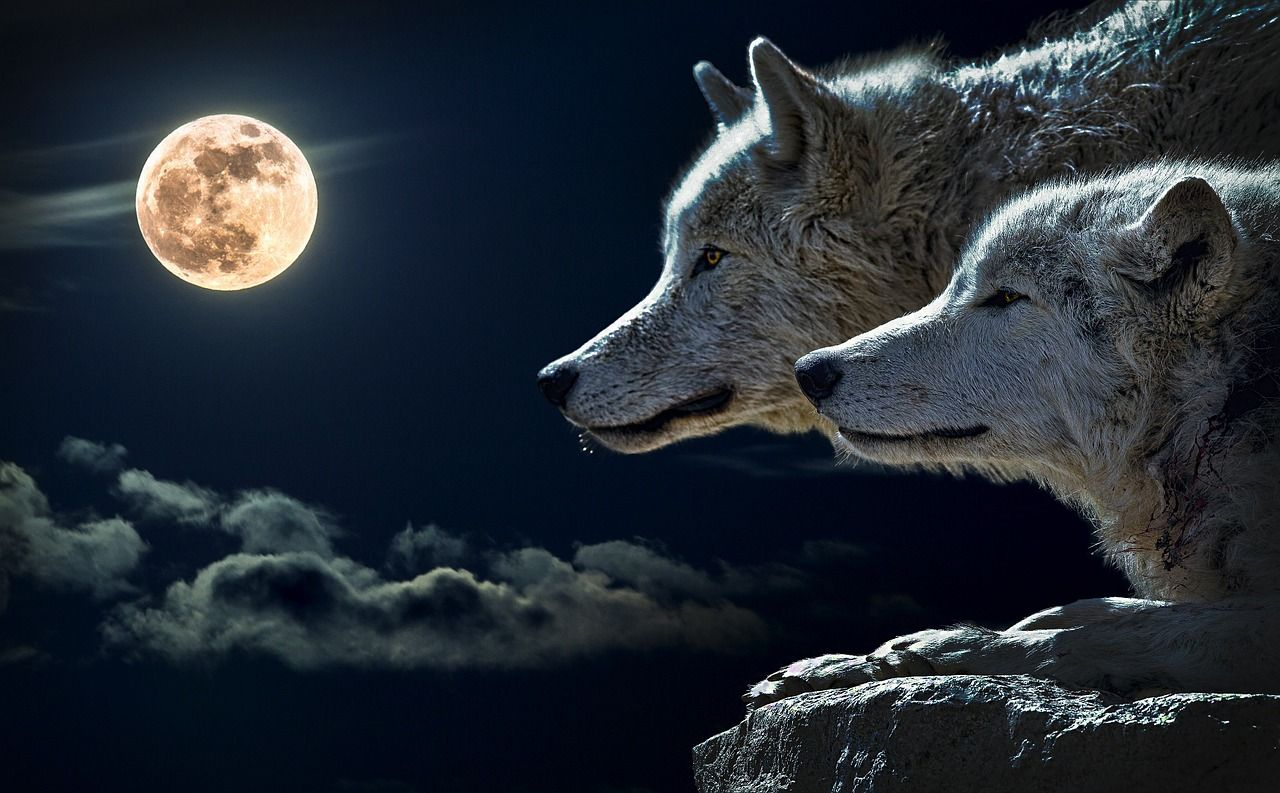 He-wolf and she-wolf and the moon
