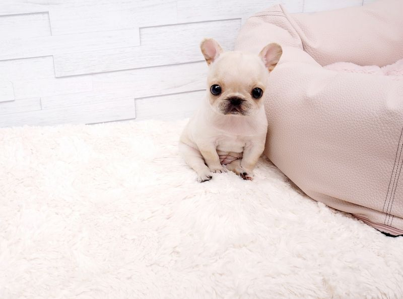 Teacup White Micro Pomeranian Puppy For Sale French Bulldog