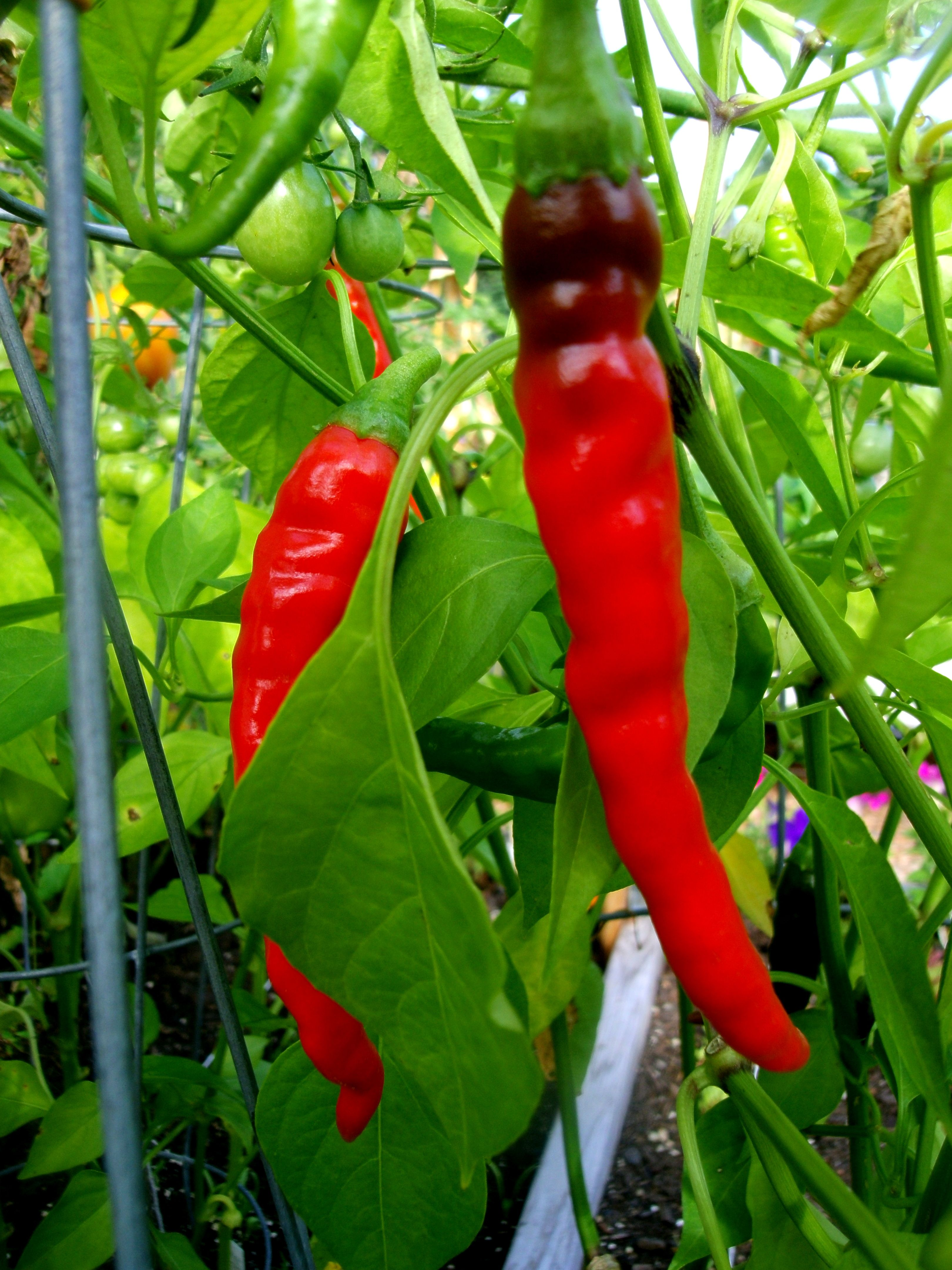August 29th - Day 93 - Brilliant red cayenne peppers - these beauties continue to show up by the handfuls every few days!