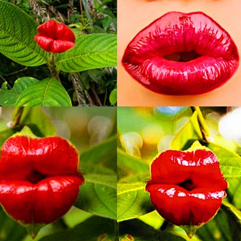 Red Hot Lips Flower Seeds Psychotria Elata Seeds 100pcs Pack