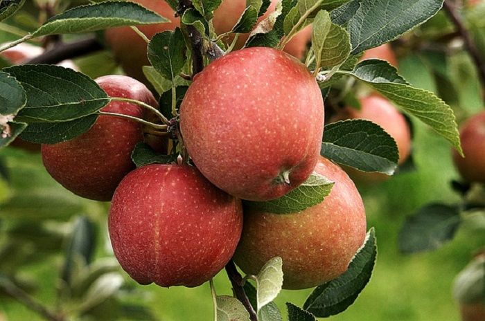 Health Benefits of Apples | Health - BabaMail