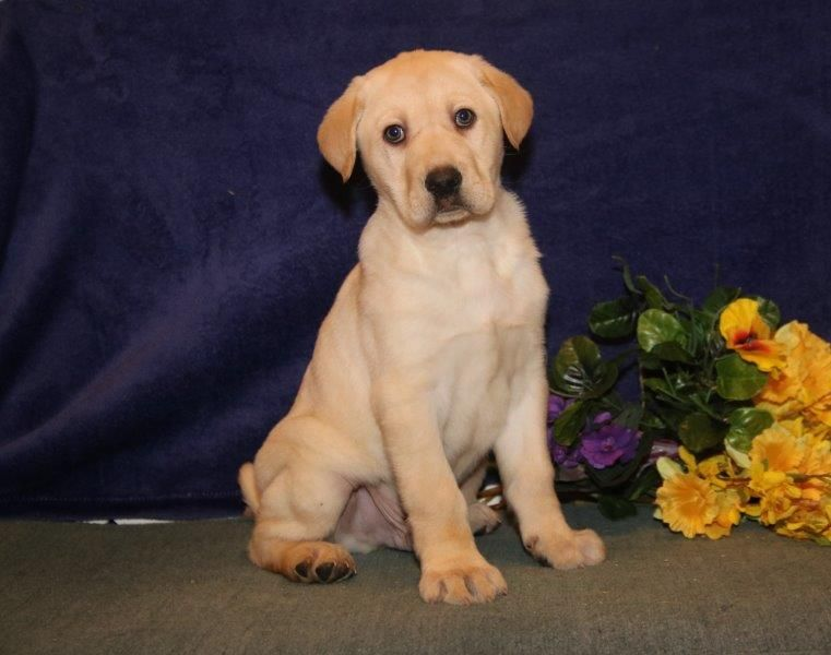Litter Of 8 Labrador Retriever Puppies For Sale In New Holland Pa