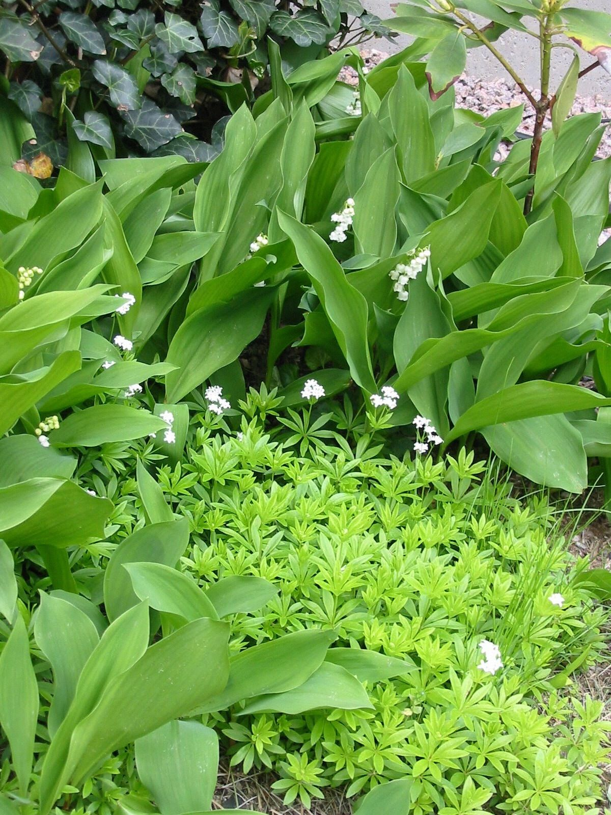 Lily of the valley and sweet woodruff what a pretty fragrance they lily of the valley and sweet woodruff what a pretty fragrance they send into our izmirmasajfo