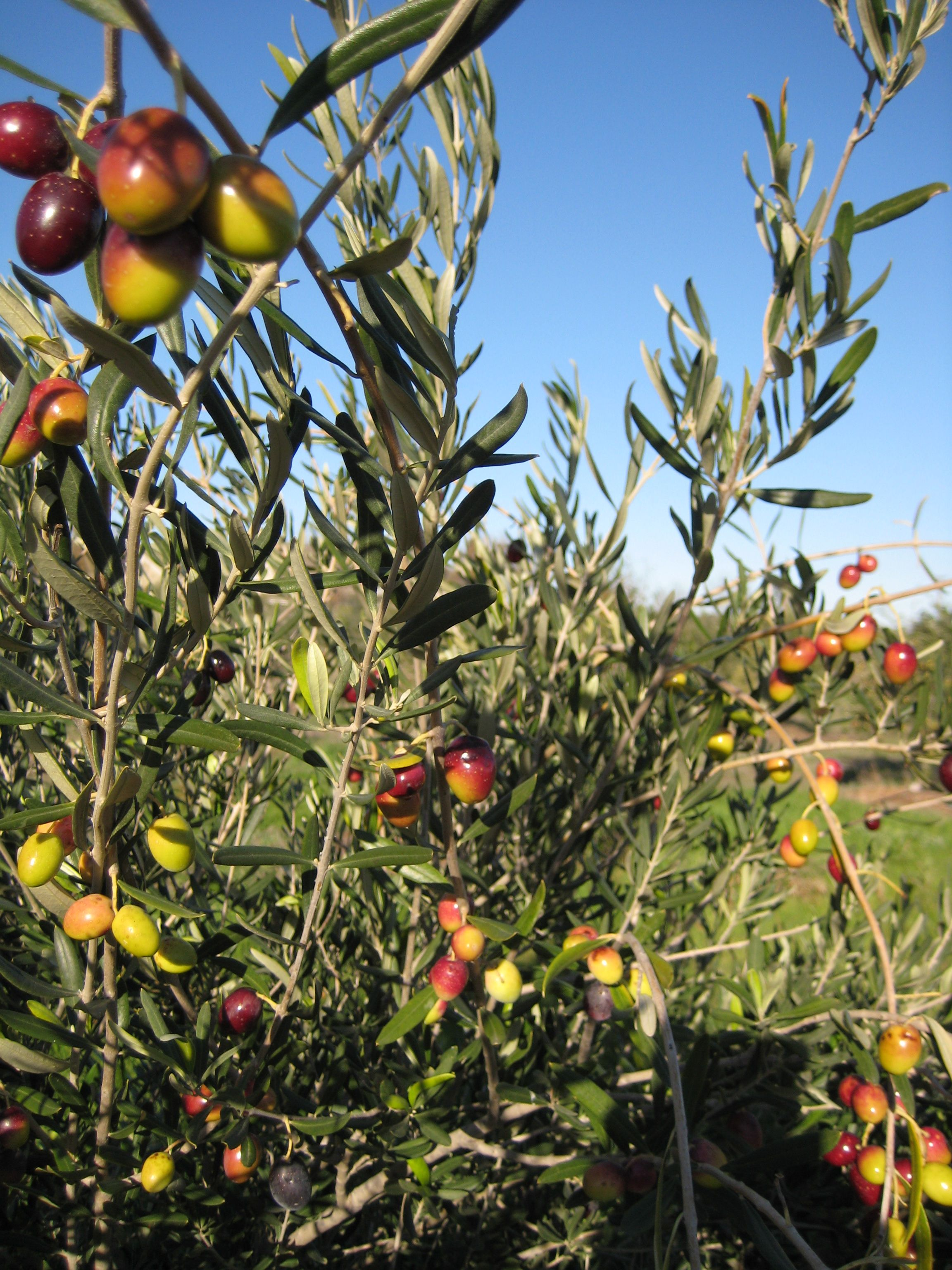 Coratina Olive A Very Adaptable Olive Tree Used For Oil -9581