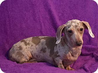 Marcellus Mi Dachshund Meet Leiana A Dog For Adoption