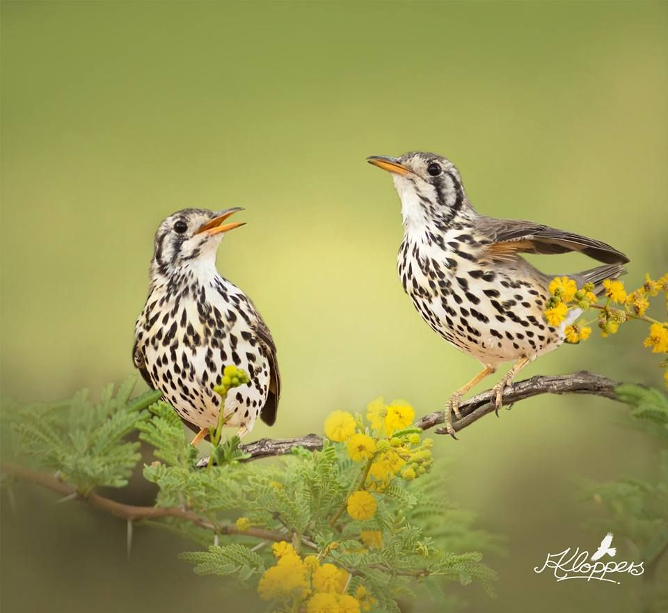 Ground-scraper Thrush (Psophocichla litsitsirupa), is a passerine bird of southern and eastern Africa.