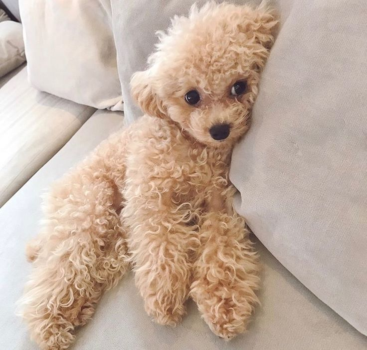 Photo of Totally how I feel today but not nearly as cute & cuddly looking. – Toy poodle -…