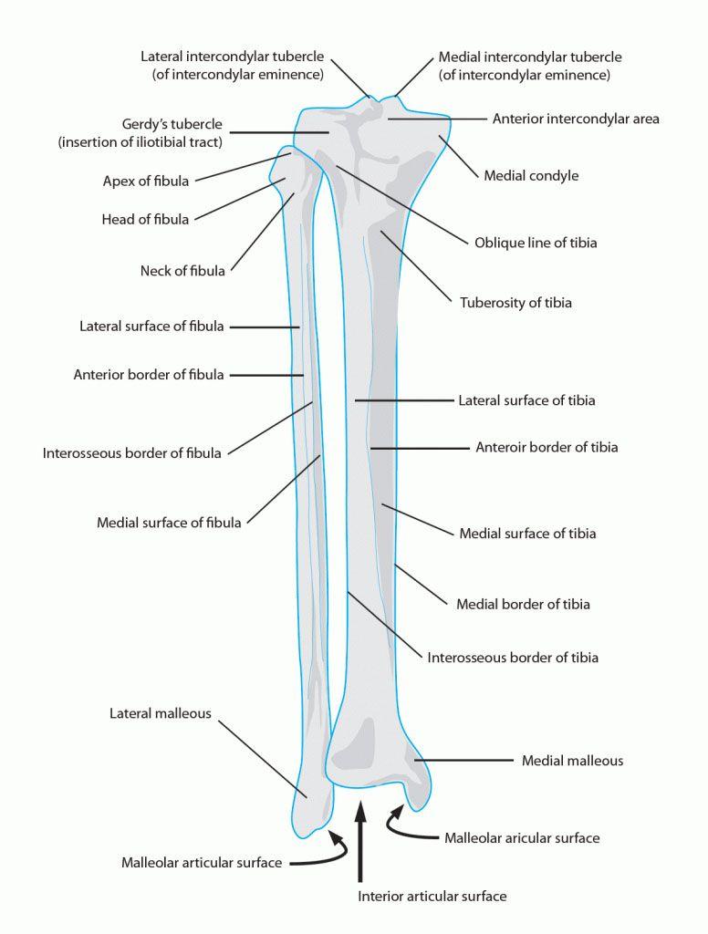 hight resolution of tibia and fibula anatomy www anatomynote com